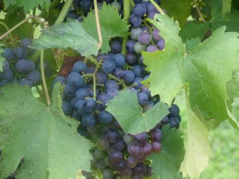Grapes ready to be picked in a vineyard in Augusta, MO