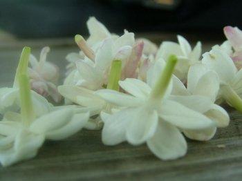 Jasmine Flowers in a nursery in Eureka, MO.