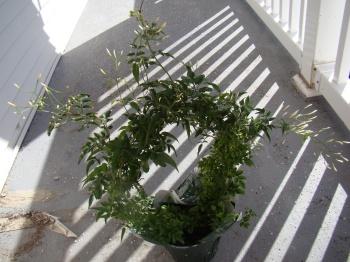 Shruti`s Jasmine Shrub - Buds ready to bloom!