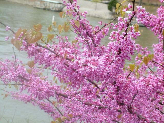 Spring blooms by the Lake of the Ozarks.